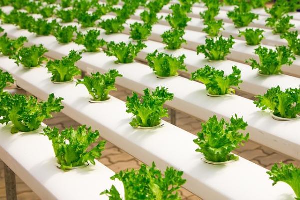 Plantas hidropónicas: tipos, lista de ejemplos y cómo cultivarlas - Cómo hacer un cultivo hidropónico casero