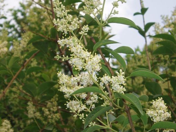 Especies invasoras en Argentina - Ligustro (Ligustrum lucidum)