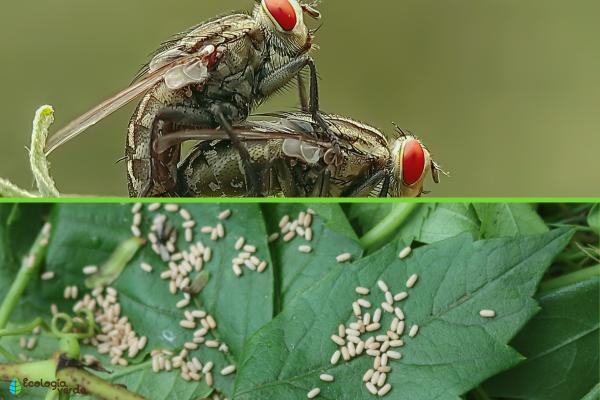 El ciclo de vida de las moscas - Cómo se reproducen las moscas
