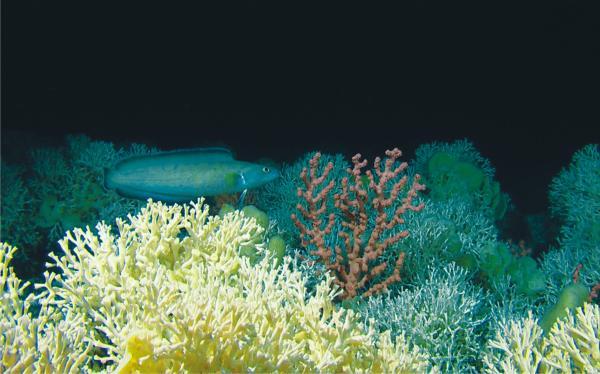 Biodiversidad marina en España - Hábitat de arrecifes de corales profundos
