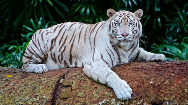 Por qué el tigre blanco está en peligro de extinción - Características del tigre blanco y su origen
