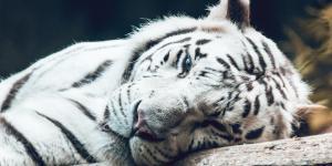 Por qué el tigre blanco está en peligro de extinción