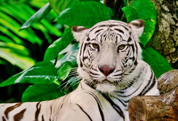 Por qué el tigre blanco está en peligro de extinción - Por qué el tigre blanco está en peligro de extinción - causas
