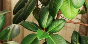 Ficus elastica: cuidados
