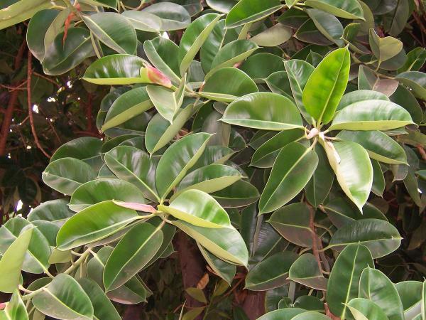 Ficus elastica: cuidados - Ubicación y luz para el ficus elastica