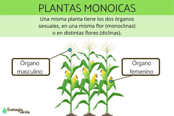 Plantas monoicas: qué son, características y ejemplos