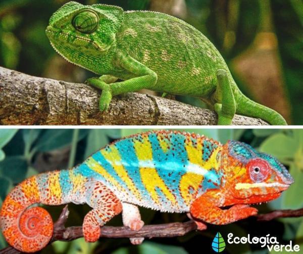 Tipos de reptiles, sus características y ejemplos - Camaleón común
