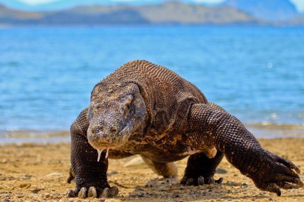 Tipos de reptiles, sus características y ejemplos - El dragón de Komodo