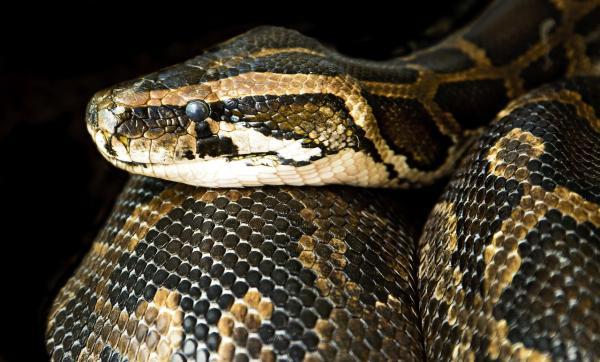 Tipos de reptiles, sus características y ejemplos - Pitón de la India