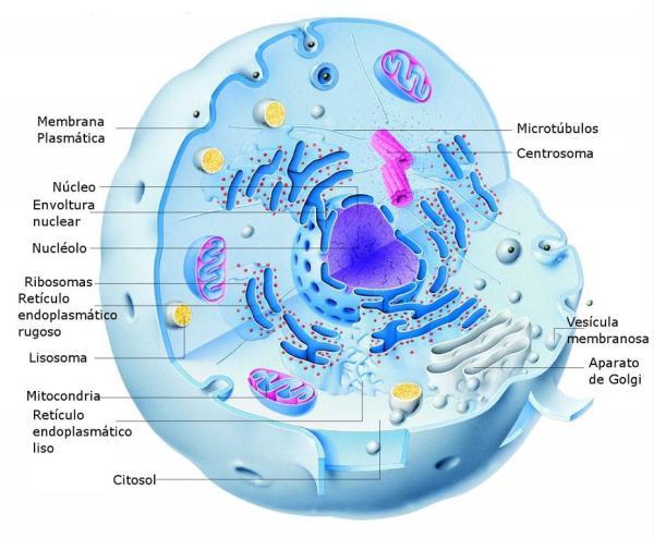 Partes de la célula animal - Retículo endoplasmático