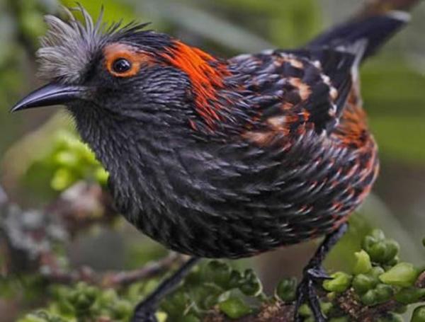 Animales en peligro de extinción en Estados Unidos - Akohekohe (Palmeria dolei)
