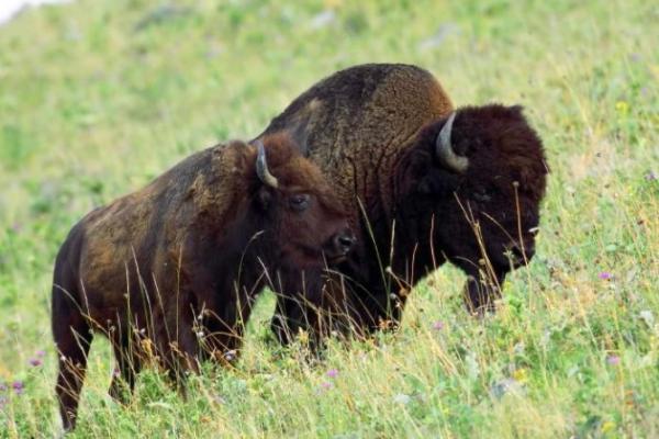 Animales en peligro de extinción en Estados Unidos - Bisonte americano (Bison bison)