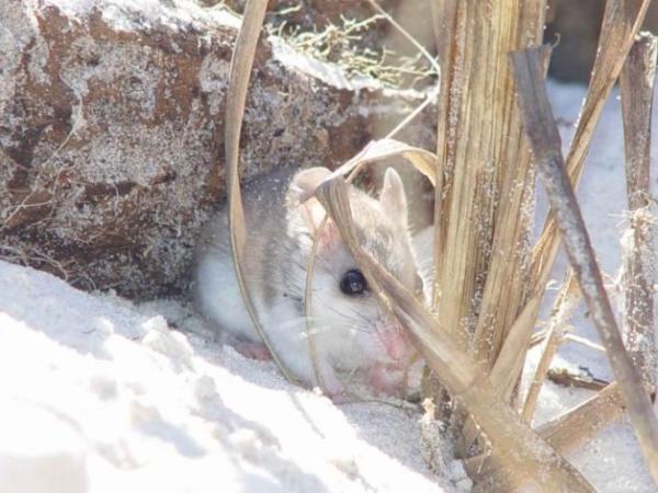 Animales en peligro de extinción en Estados Unidos - Ratón de playa (Peromyscus polionotus)