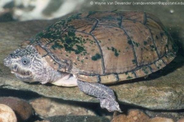Animales en peligro de extinción en Estados Unidos - Tortuga de almizcle aplanada (Sternotherus depressus)