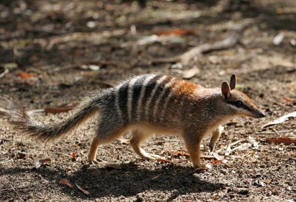 Animales en peligro de extinción en Australia