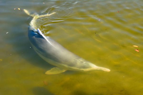 Animales en peligro de extinción en Australia - Delfín jorobado australiano