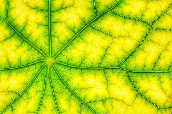 Qué es la clorofila y sus tipos