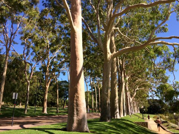 Tipos de eucalipto - Eucalyptus citriodorus