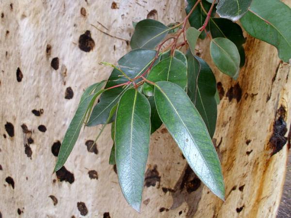 Tipos de eucalipto - Eucalyptus cladocalyx