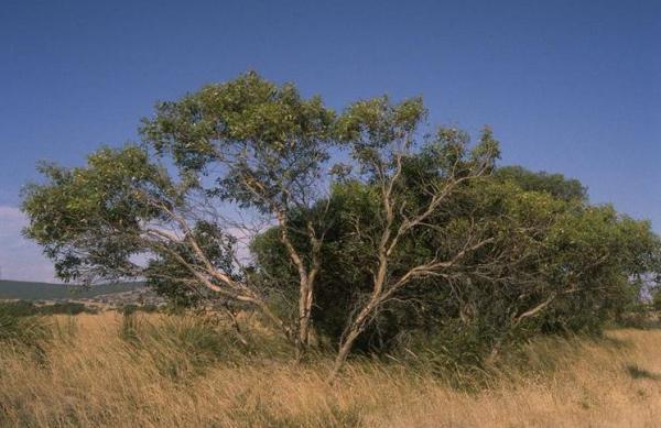 Tipos de eucalipto - Eucalyptus incrassata