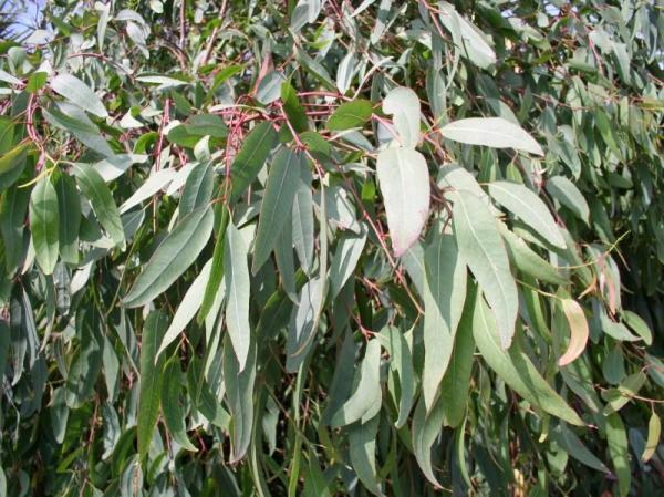 Tipos de eucalipto - Eucalyptus rostrata