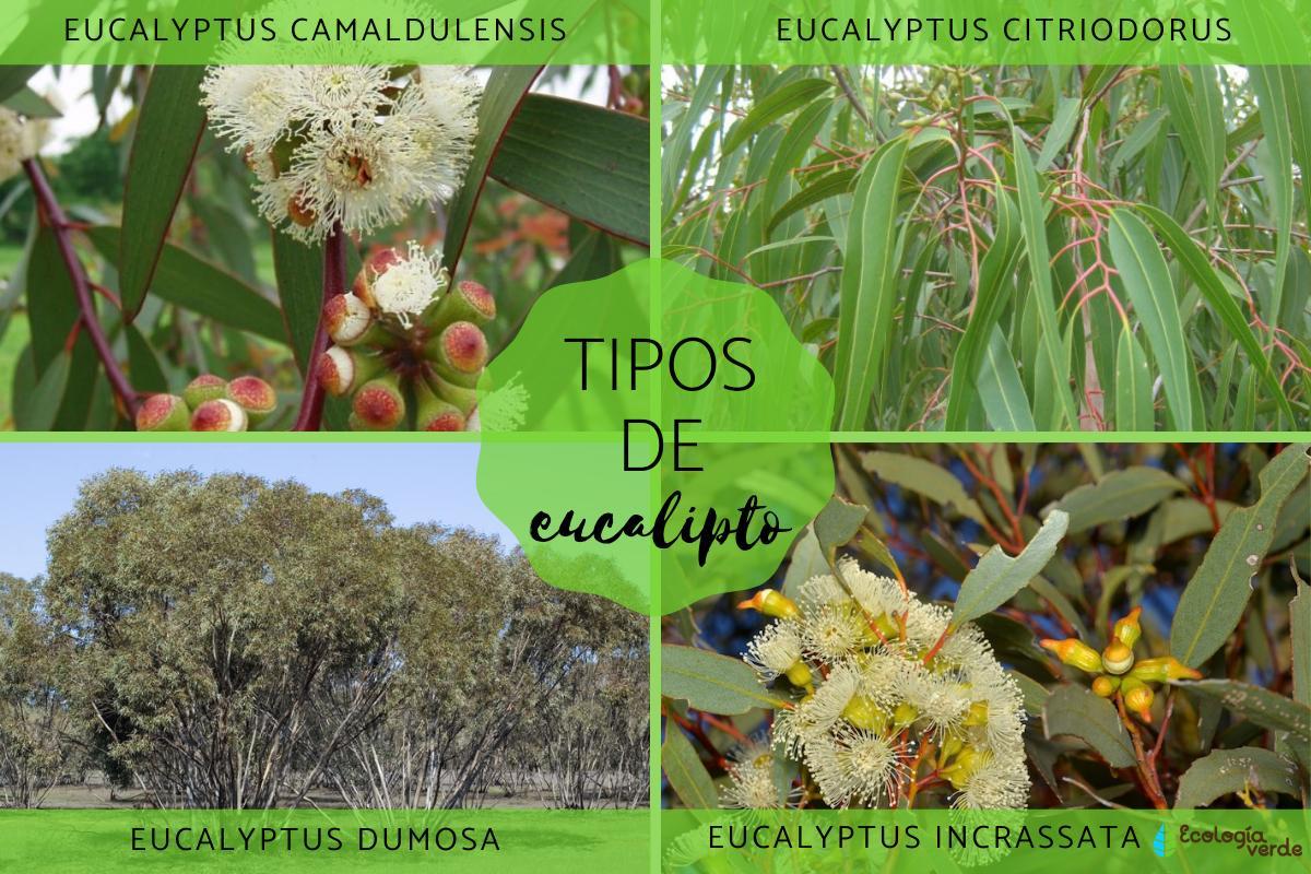 12 Tipos De Eucalipto Nombres Características Y Fotos