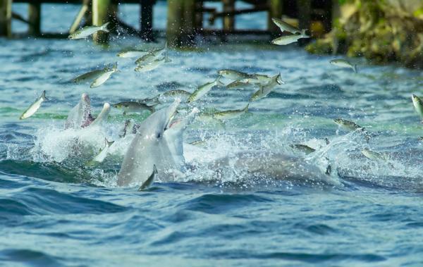 Cómo se comunican los delfines - Cómo se comunican los delfines con otros seres vivos