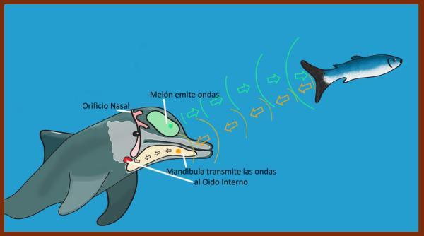 Cómo se comunican los delfines - Qué es el sonar de los delfines