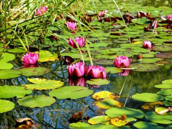 11 tipos de jardines - Jardín acuático