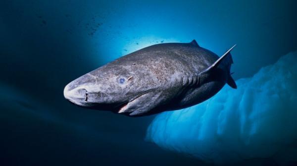 Qué animales viven más años - Tiburón de Groenlandia, más de 400 años