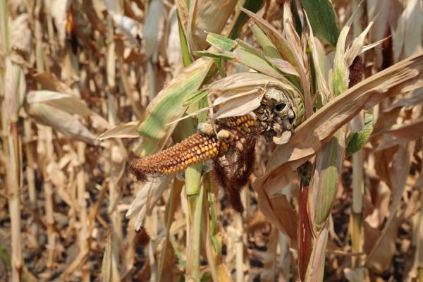 Plagas y enfermedades del maíz y su control - Carbón espiga