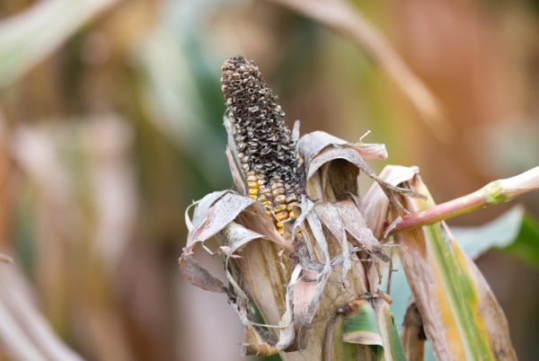 Plagas y enfermedades del maíz y su control - Podredumbre