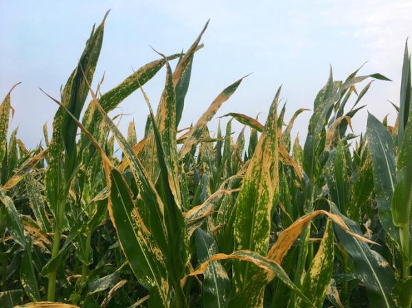 Plagas y enfermedades del maíz y su control - Roya del maíz