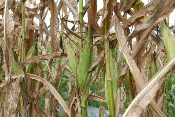 Plagas y enfermedades del maíz y su control - Virus del mosaico, una de las enfermedades más comunes del maíz