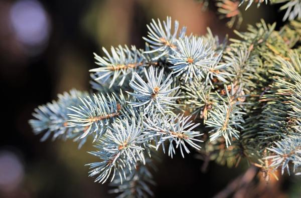 15 árboles con piñas - Abeto blanco