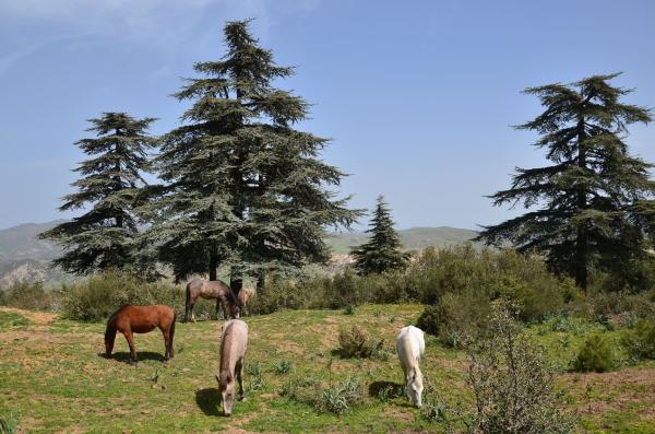 15 árboles con piñas - Cedro del Himalaya