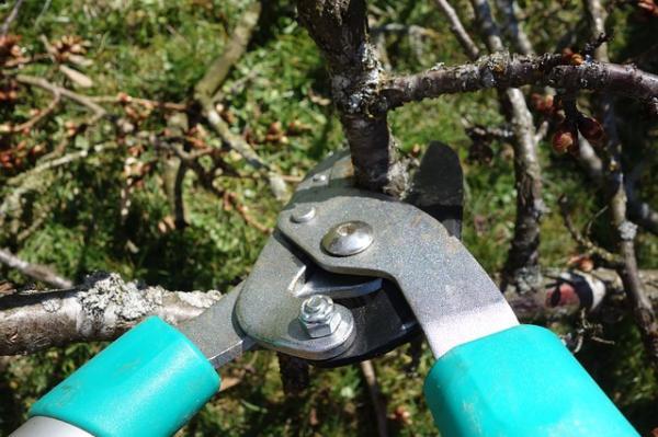 Cómo y cuándo podar árboles frutales - Cómo podar los árboles frutales