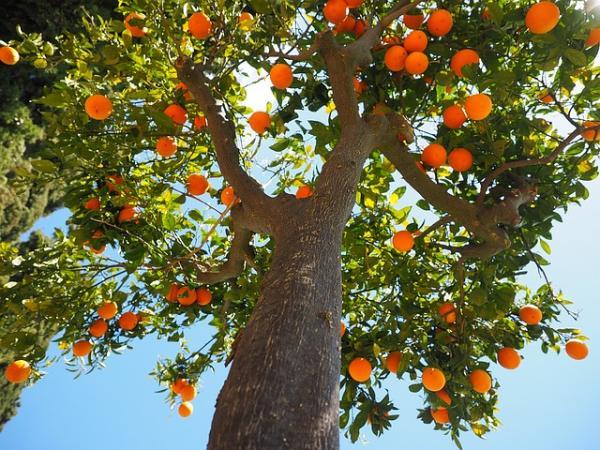Cómo y cuándo podar árboles frutales