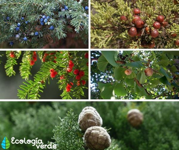 15 árboles con piñas - Más árboles con piñas