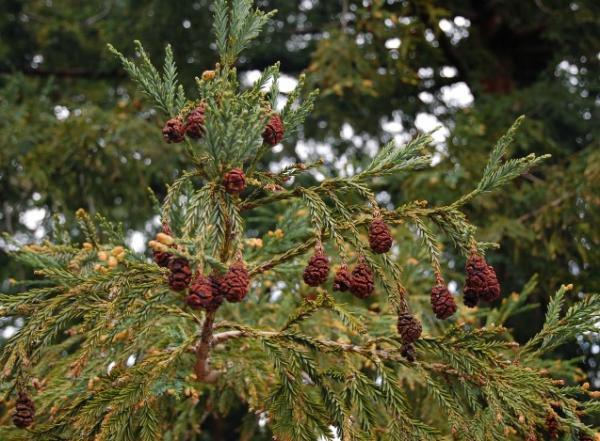 15 árboles con piñas - Secuoya de California, uno de los árboles con piñas más altos
