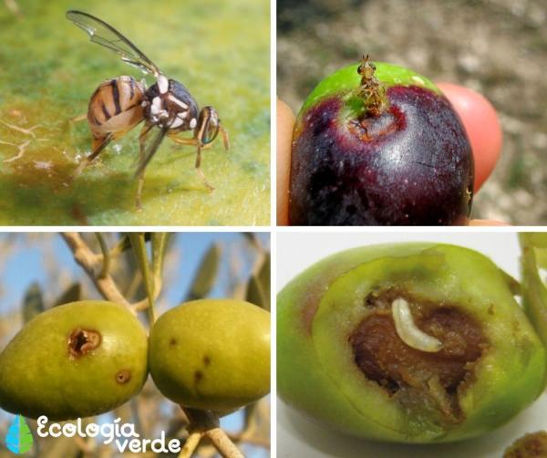 Mosca del olivo: tratamiento