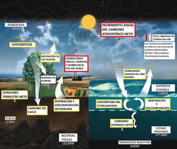 El ciclo del carbono: qué es, cómo funciona y su importancia - Qué es el ciclo del carbono y su esquema