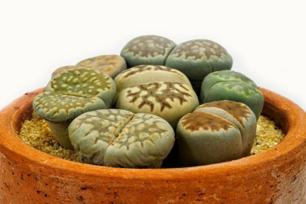Types de cactus - Noms et soins - Lithops, l'une des plus curieuses espèces de cactus