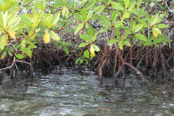 Qu'est-ce qu'une mangrove ? - Définition et caractéristiques - Pourquoi est-ce que les mangroves sont importantes ?