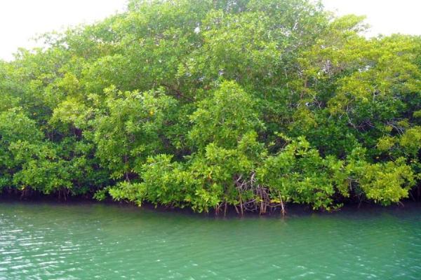 Qu'est-ce qu'une mangrove ? - Définition et caractéristiques