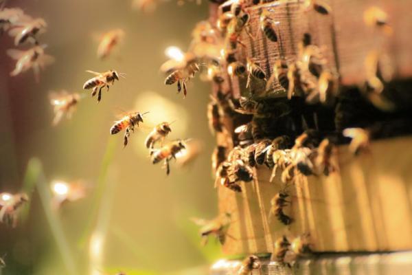 Comment les abeilles communiquent entre elles - La danse des abeilles