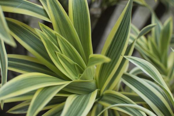 Plantes vertes d'intérieur - Dragonnier parfumé