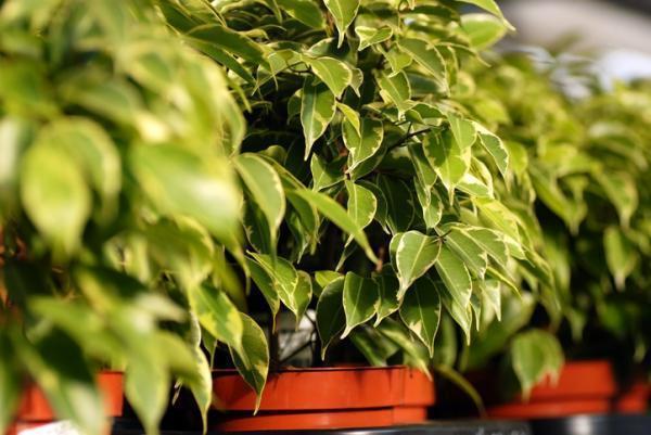 Plantes vertes d'intérieur - Ficus benjamina ou Figuier pleureur