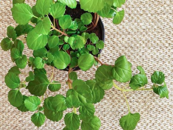 Plantes vertes d'intérieur - Lierre suédois ou plante de l'argent