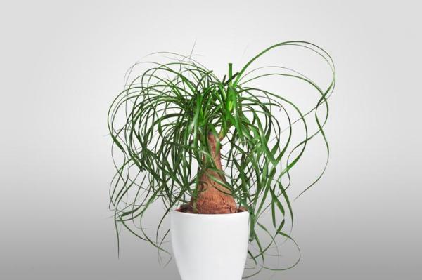 Plantes vertes d'intérieur - Pied d'éléphant